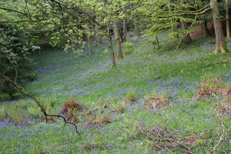 bluebells on Orrest Head