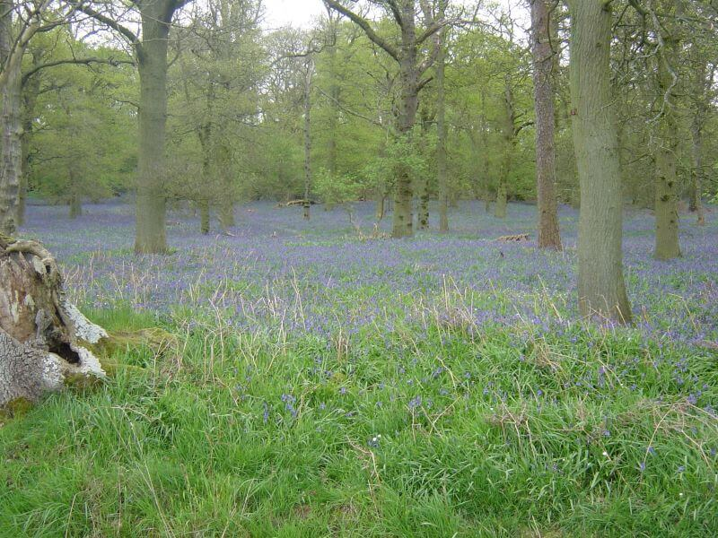 English bluebells in woods